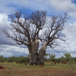 Beautiful Boab Tree