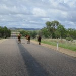 Wild horses on the highway
