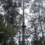 The Bicentennial Tree - first platform at 25m, second at 75m