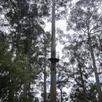 The Bicentennial Tree - first platform at 25m, second at 75m