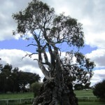 Narly old tree